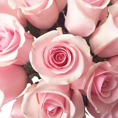 Titanic Light Pink Roses up close