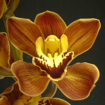 Mini Cymbidium Orchids Amber Brown