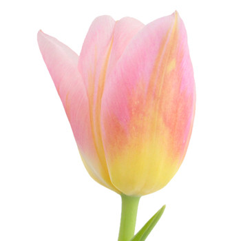 Pink and Yellow Twist Tulips