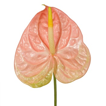 Anthurium Peachcicle Tropical Flower