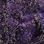 Trachellium_Fresh_Cut_Purple_Flower