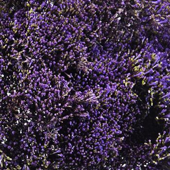 Trachelium Purple Flower