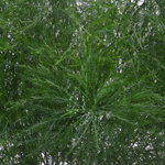 Fresh cut tree fern filler greenery bulk sold near me for delivery