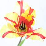 Flaming Parrot Novelty Tulip Flower