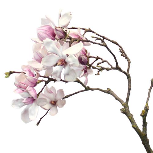 Wedding Tulip Magnolia Branches