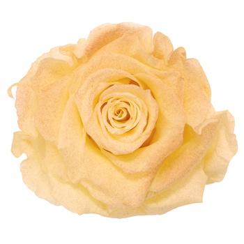 Preserved Tungurahua Powder Rose