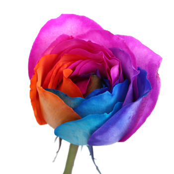 Groovy Rainbow Roses