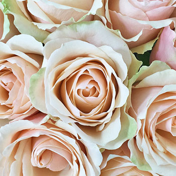 Tutu Pink Rose