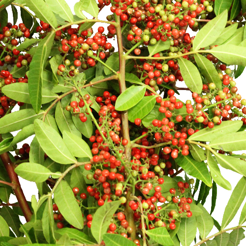 Upright Brazilian Pepperberries