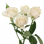 Blush mini rose flower
