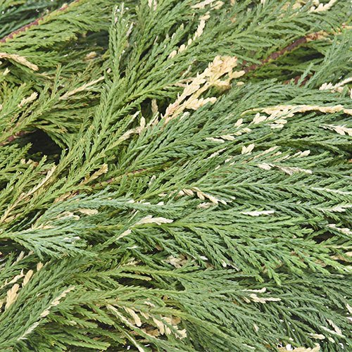 Variegated Leyland Cedar Winter Greenery