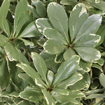 Fresh cut variegated pittosporum greens sold as bulk near me