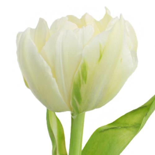 Buttercup Cream Double Tulips