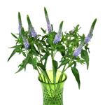 Veronica Purple Blue Flower