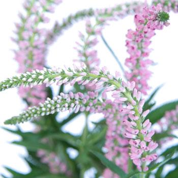 Veronica Flower Light Pink