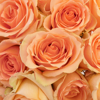 Versilia Peach Rose
