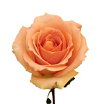 Peach Rose Versilia