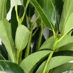 Wedding greenery green viburnum lucid filler flowers sold near me