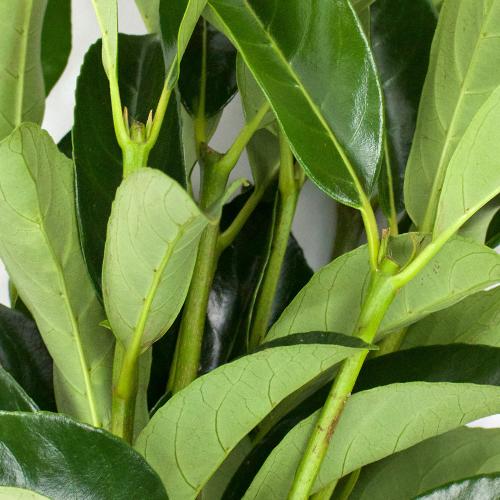 Green Viburnum Lucid