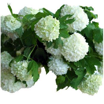Viburnum Snowball White Flower