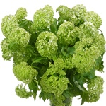 Wholesale green viburnum flower fillers sold near me for delivery