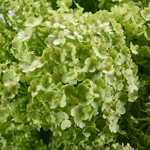 Fresh cut greenery green viburnum flower fillers sold near me