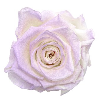 Preserved Violet Powder Rose