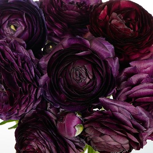 Burgundy Wine Ranunculus Fresh Cut Flower