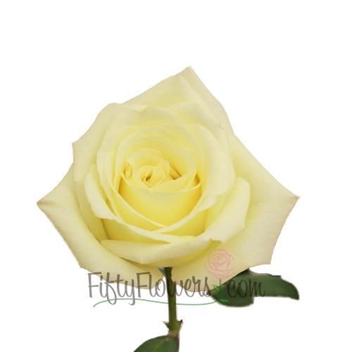 Virginia Creamy White Rose