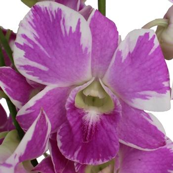 Vivid Violet Orchid Flower