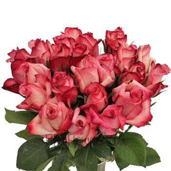Vogue Raspberries and Cream Rose