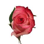 Bicolor Rose Vogue