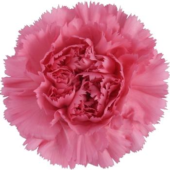 Watermelon Pink Carnation Flower