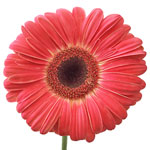 Bulk Novelty Gerber Flower