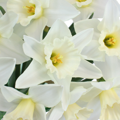 White Wedding Bells Daffodil Flower
