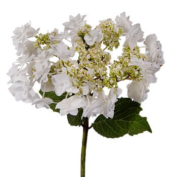 Wedding White Lace Cap Hydrangea