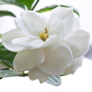 Gardenia Worker Flowers