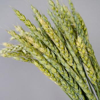 Fresh Pasta Wheat Greenery