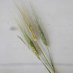 Wedding greenery fresh wheat grass filler flowers sold near  me