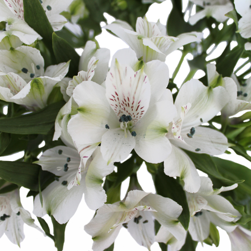White Alstroemeria Fresh Flower