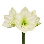 Bulk Amaryllis White Flower
