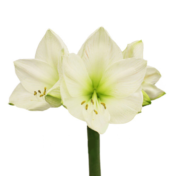 Amaryllis White Bulk Flower