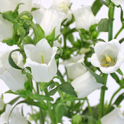 Campanulas White Flower