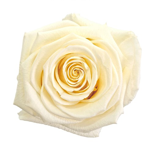 Preserved White Chocolate Rose