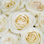 Creamy White Rose Amelia