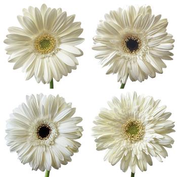 White Gerber Daisy Flower