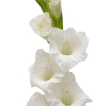 Bulk White Gladiolas Flowers