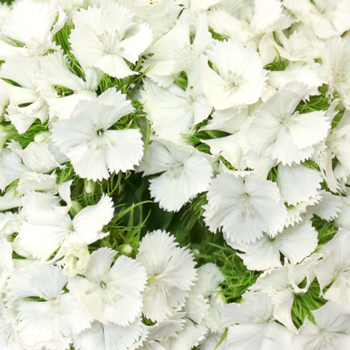 Sweet William White Flowers