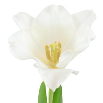 White Liberstar Tulip Flower