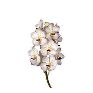 Vanda Orchids White Magic